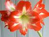 Hippeastrum 'Minerva' (amaryllis)