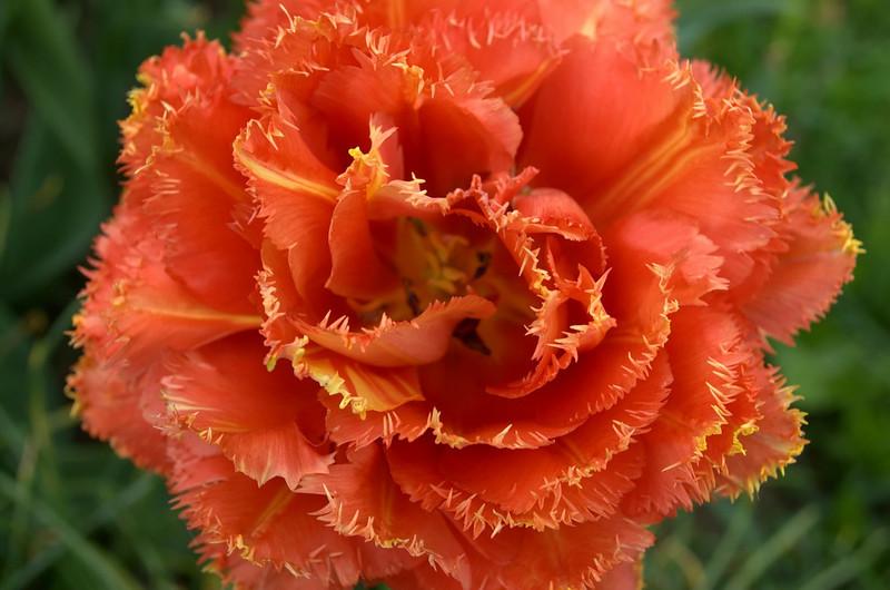 Tulipa 'Sensual Touch' (double tulips)