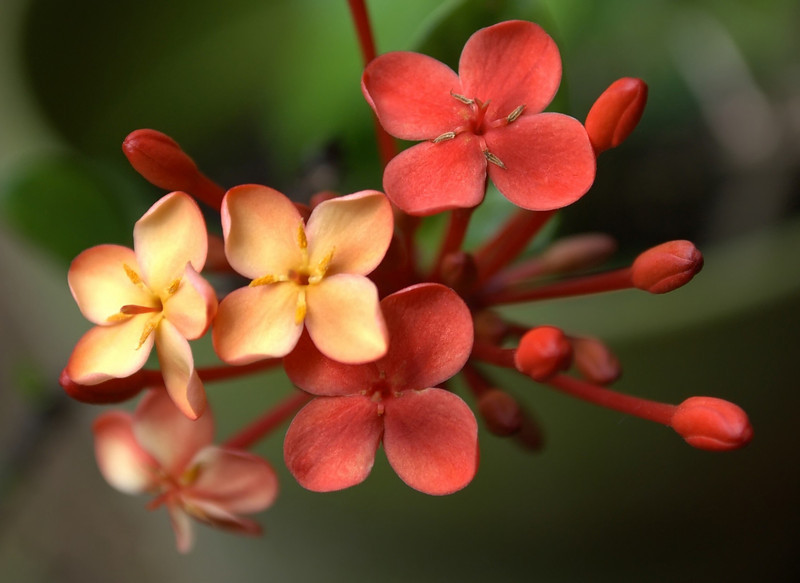 Ixora coccinea (jungle geranium)