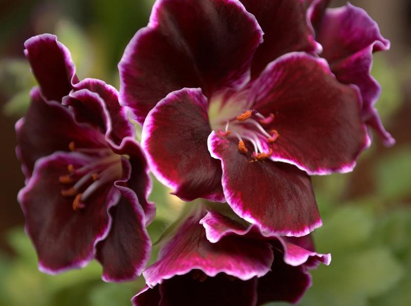 Pelargonium regale (regal or Martha Washington geranium)