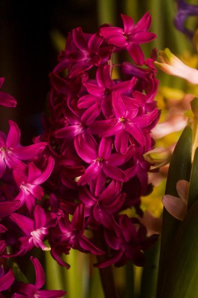 Hyacinthus orientalis (hyacinth forced indoors)