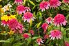 Echinacea purpurea 'Razzmatazz' (coneflowers)