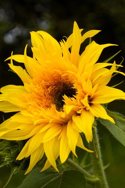 Helianthus annuus (annual sunflower)