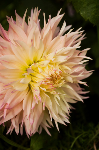 Dahlia 'Pineland's Princess'