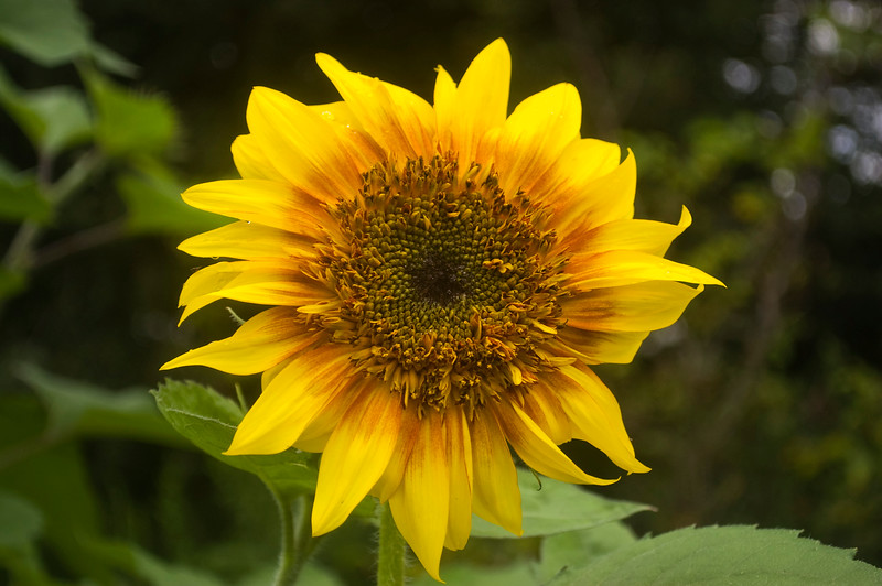 Helianthus (sunflower)