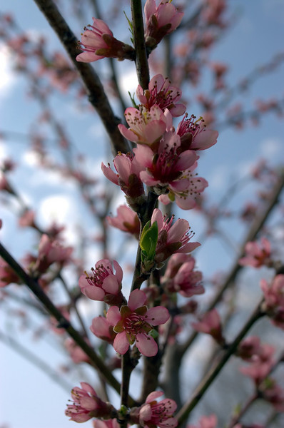 Prunus persica (peach blossoms)