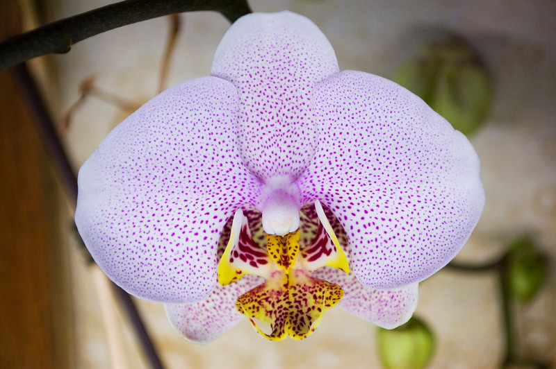 Phalaenopsis, speckled maroon and lavender (moth orchid)
