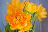 Tulipa, double orange