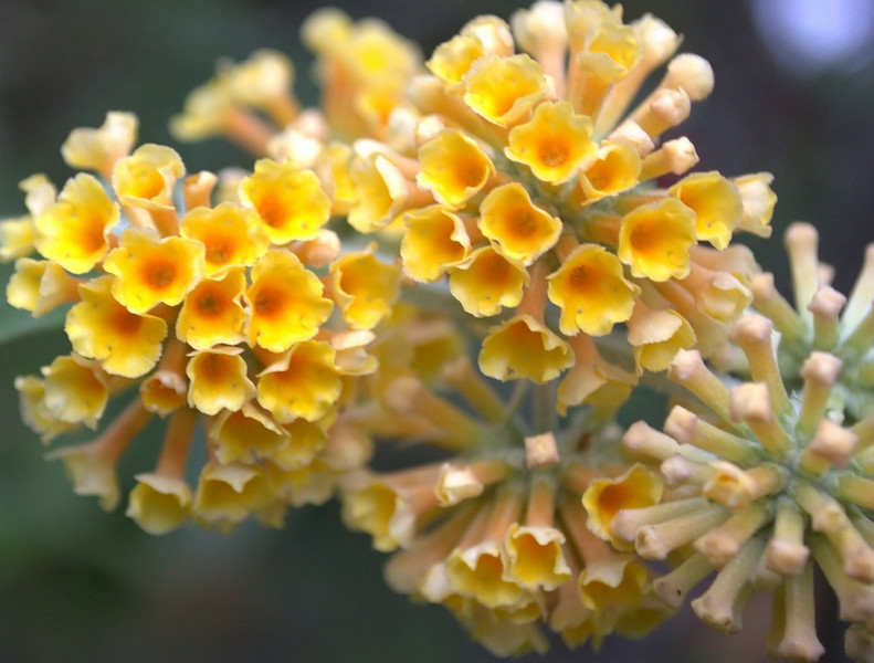 Buddleja x weyeriana 'Honeycomb' (butterfly bush)