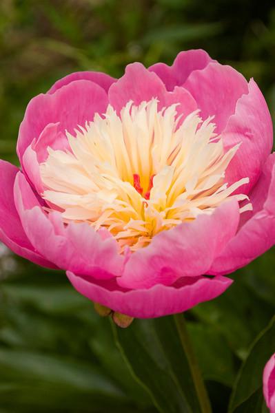 Paeonia 'Bowl of Beauty' (peony)