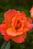 Rosa 'Sunrise'