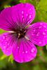 Geranium dalmaticum 'Dragon Heart' (hardy geranium)