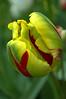 Tulipa (parrot tulip)