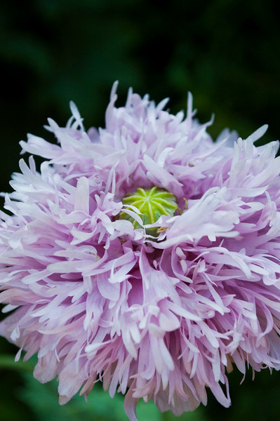 Papaver laciniatum, lavender