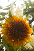 Helianthus anuus 'Tiger's Eye' (sunflower)