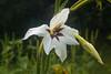 Gladiolus murielae, Acidanthera