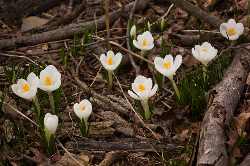 Crocuses, white