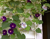 Ipomoea purpurea 'Kniola's Black' and Ipomoea purpurea 'Aomaraski,' AKA 'Emma's Gift' (morning glories)