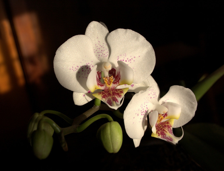 Phalaenopsis, maroon and white (moth orchids)