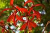 Sprekelia formosissima (Aztec lily)