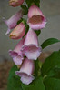 Digitalis purpurea 'Apricot Beauty' (foxglove)