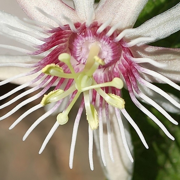 Passiflora quinquangularis (passion flower)