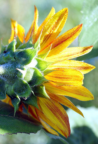Helianthus annuus back, red and yellow (sunflower)