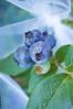 Vaccinum corymbosum  (blueberries) with netting