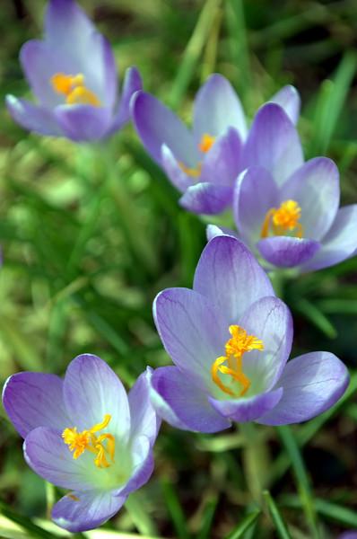 Crocus, lavender