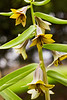 Fritillaria sewerzowii