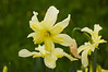 Narcissus 'Exotic Mystery '