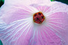 Hibiscus splendens (hollyhock tree)