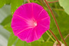 Ipomoea purpurea, hot pink (morning glory)