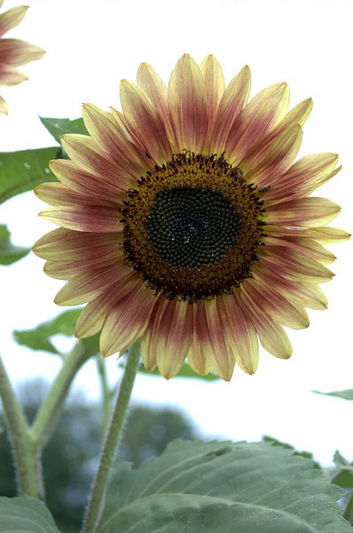 Helianthus annuus, red and yellow (sunflower)