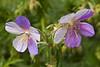 Geranium pratense 'Splish-Splash' (hardy geranium)