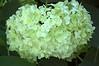 Hydrangea macrophylla (snowball bush)