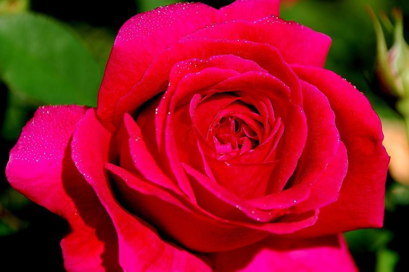Rosa, red (rose)