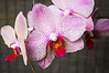 Phalaenopsis, speckled red and pink (moth orchid)