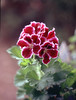 Pelargonium regale (regal or Martha Washington geranium)