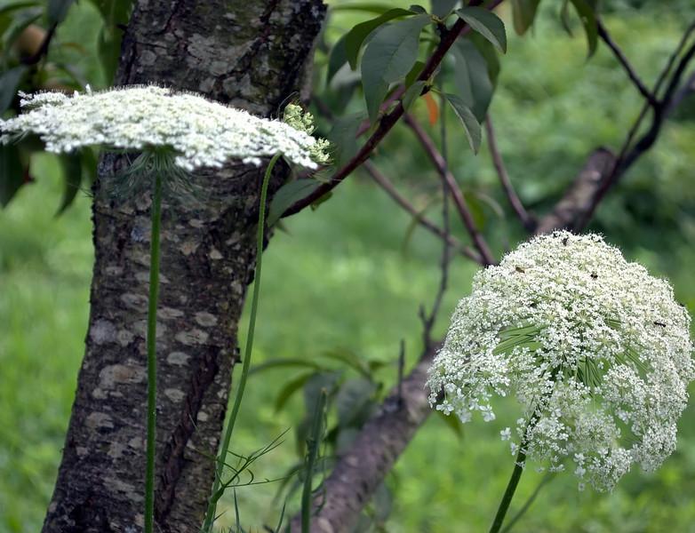 Daucus carota (Queen Anne's Lace) with Prunus persica (peach tree)