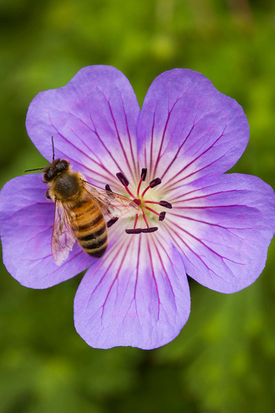 Geranium wallichianum 'Buxton's Blue' with  Apis melliifera (honey bee)