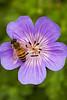 Geranium wallichianum 'Buxton's Blue' with  Apis melliifera (honey bee)