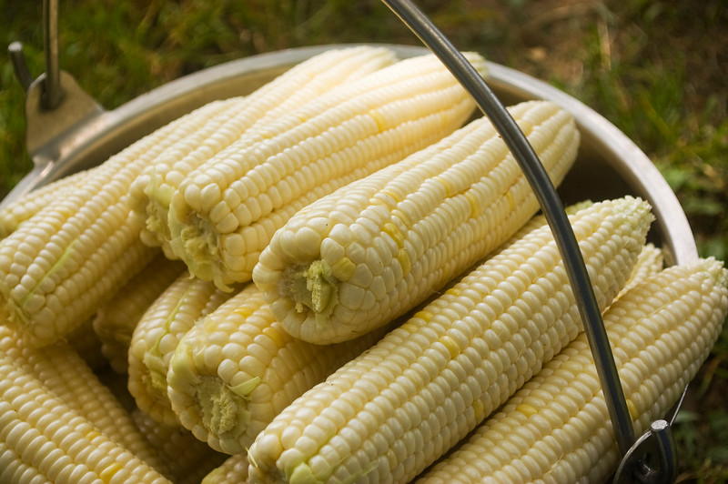 Zea mays 'Silver Queen' (sweet corn)