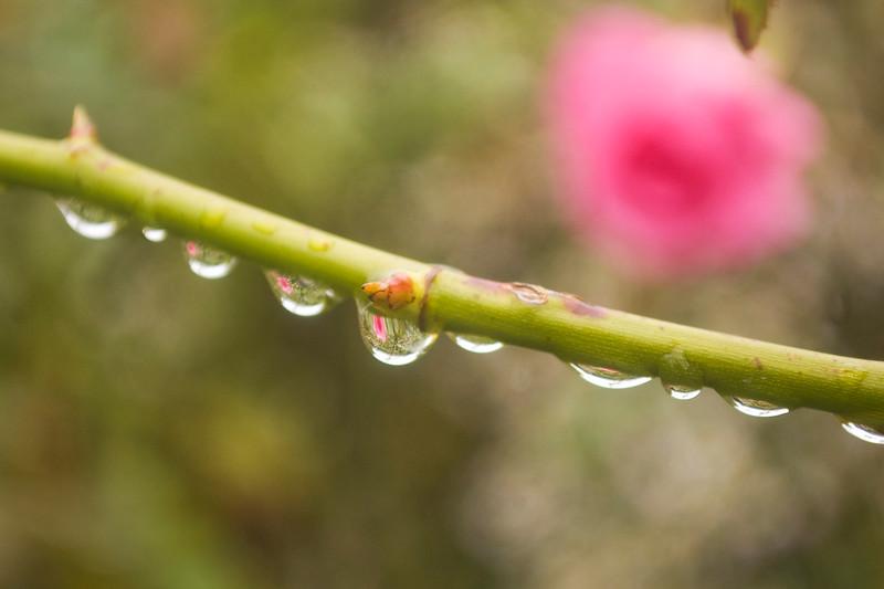 droplets on rose cane