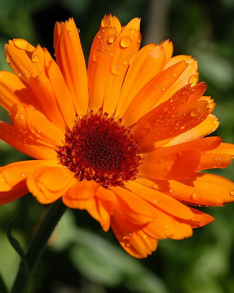 Calendula officinalis (pot marigold)