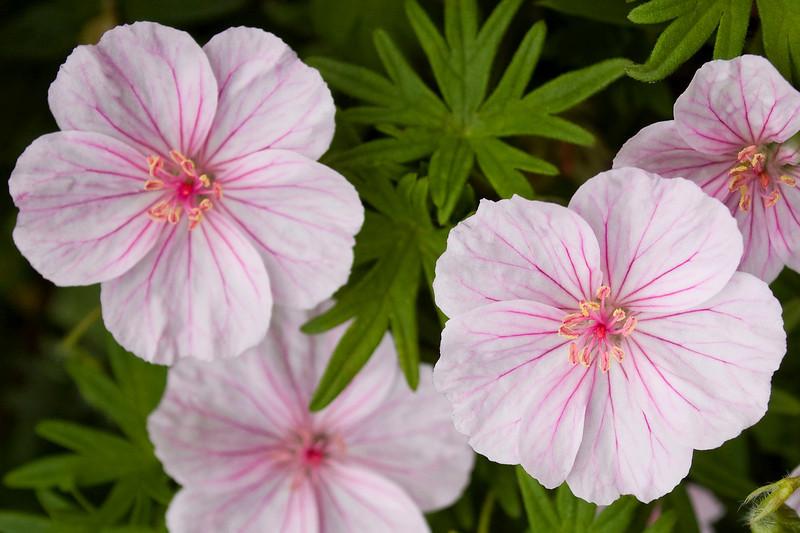 Geranium cinereum (hardy geranium)