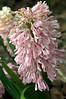 Hyacinthus orientalis 'Raphael' (bottlebrush hyacinth)