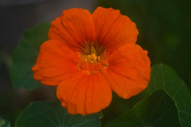 Tropaeolum 'Out of Africa' (nasturtium)