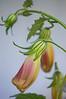 Rehmannia buds
