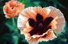 Papaver orientalis 'Coral Reef' (Oriental poppy)